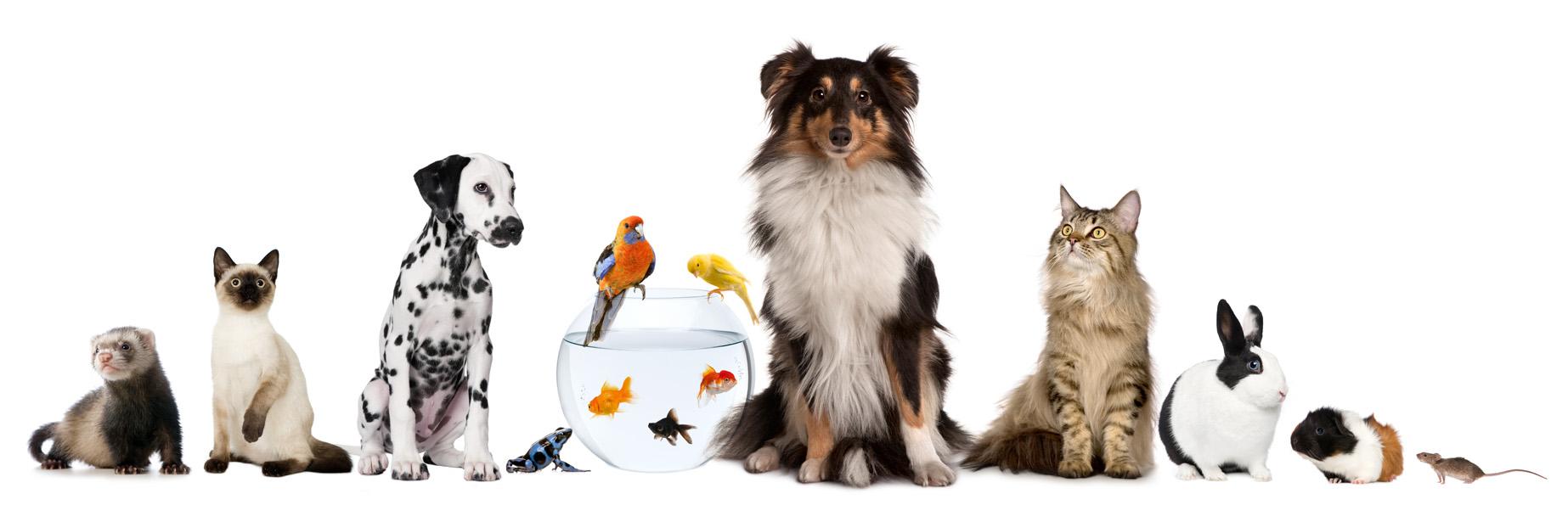 картинки животных для визитки голландка, одна самых